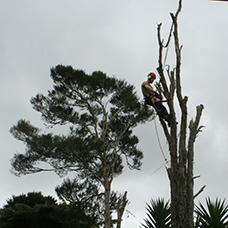 difficult tree removal - west auckland