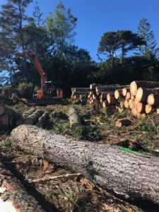 auckland-tree-chopped